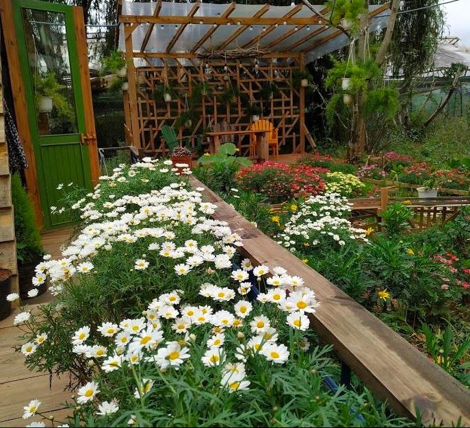 Vườn hoa cúc Túc homestay