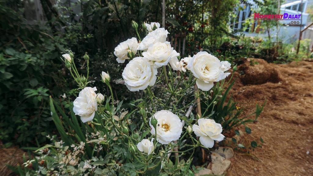 Khu vườn Nhà Của Tre có cả hoa hồng trắng xinh đẹp