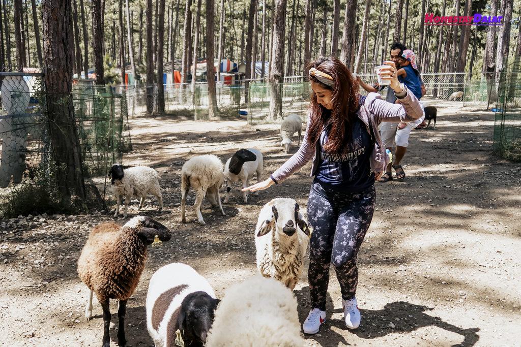 Bạn sẽ được chơi đùa cùng những chú cừu dễ thương