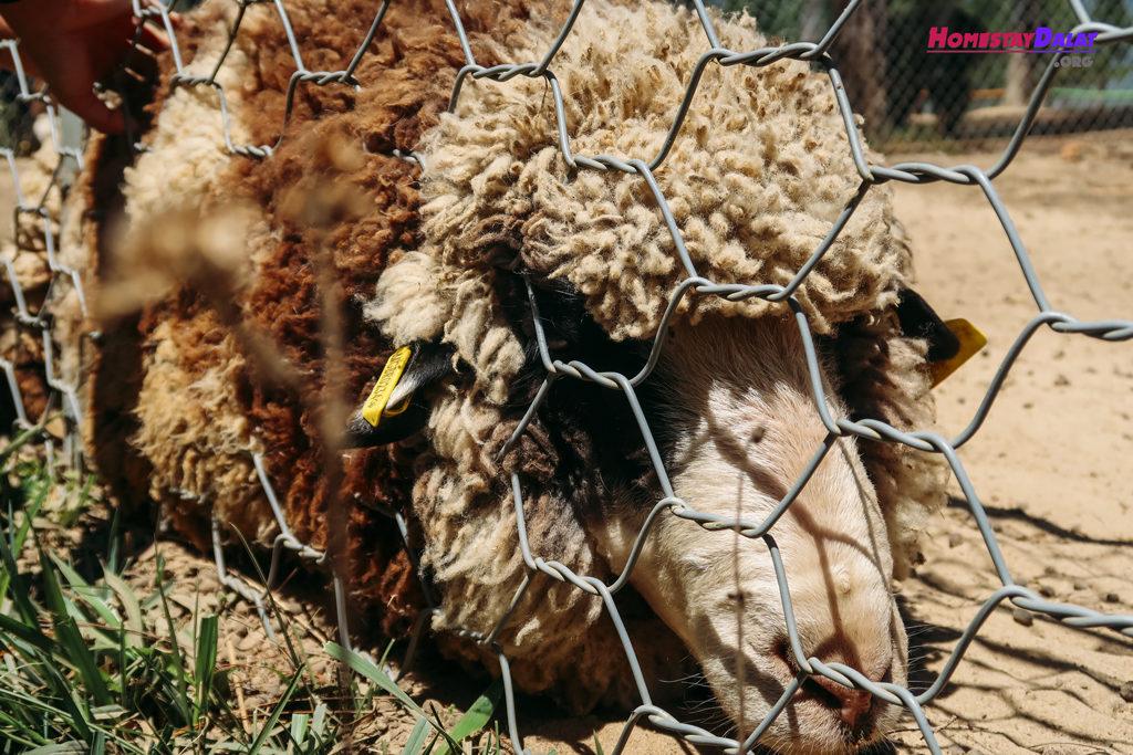 Cừu Minh Mập chỉ thích ăn và nằm một chỗ
