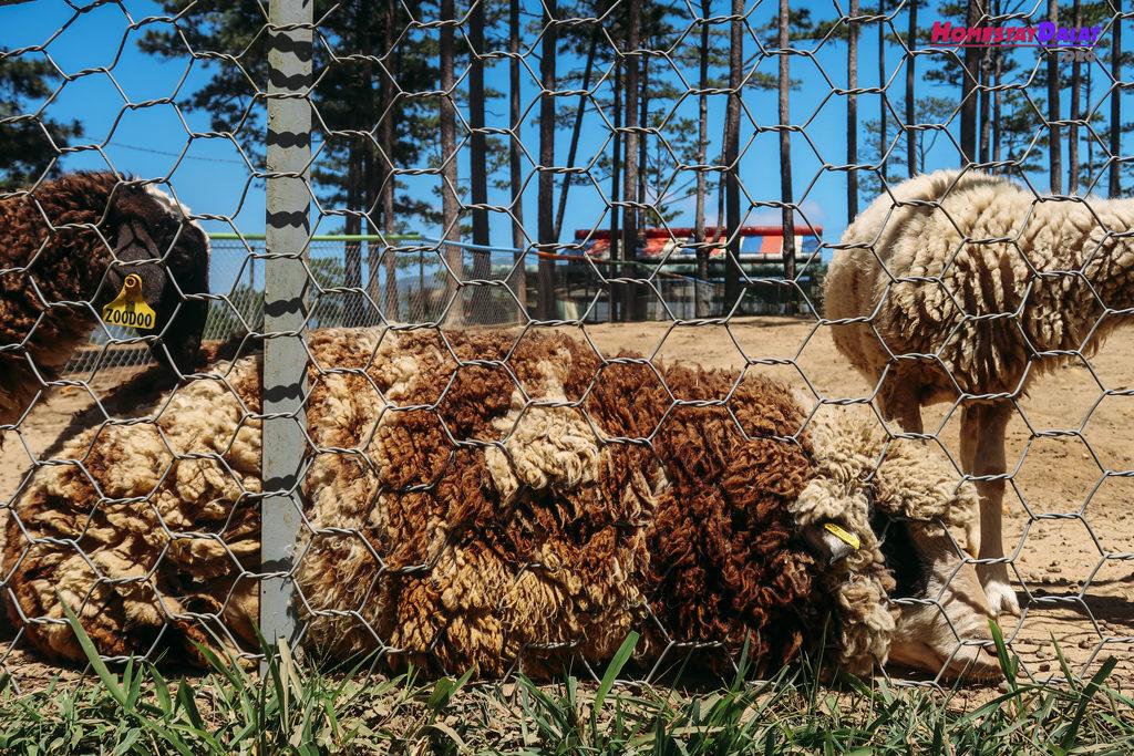Chú cừu đực tên Minh Mập ở vườn thú ZooDoo Đà Lạt