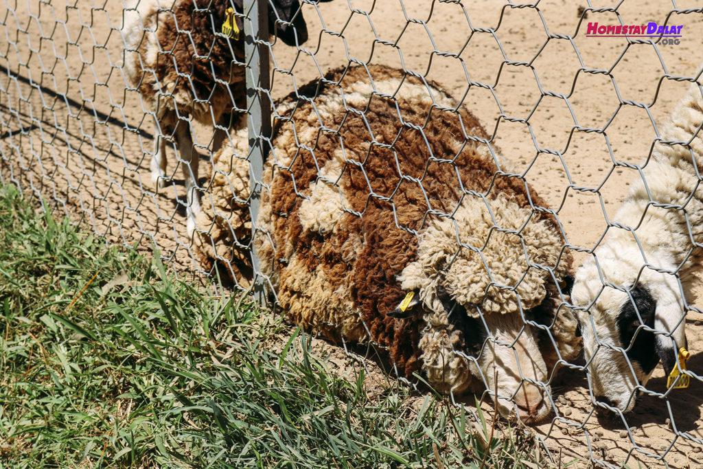 Cừu Minh Mập ở sở thú ZooDoo Đà Lạt