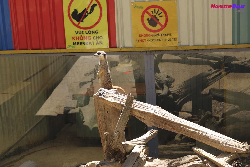 Chồn đất Markeet ở sở thú ZooDoo Đà Lạt
