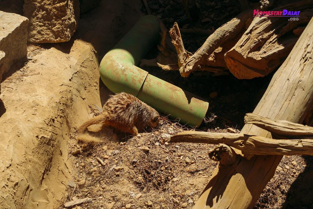 Chồn đất Meerkat đào hang