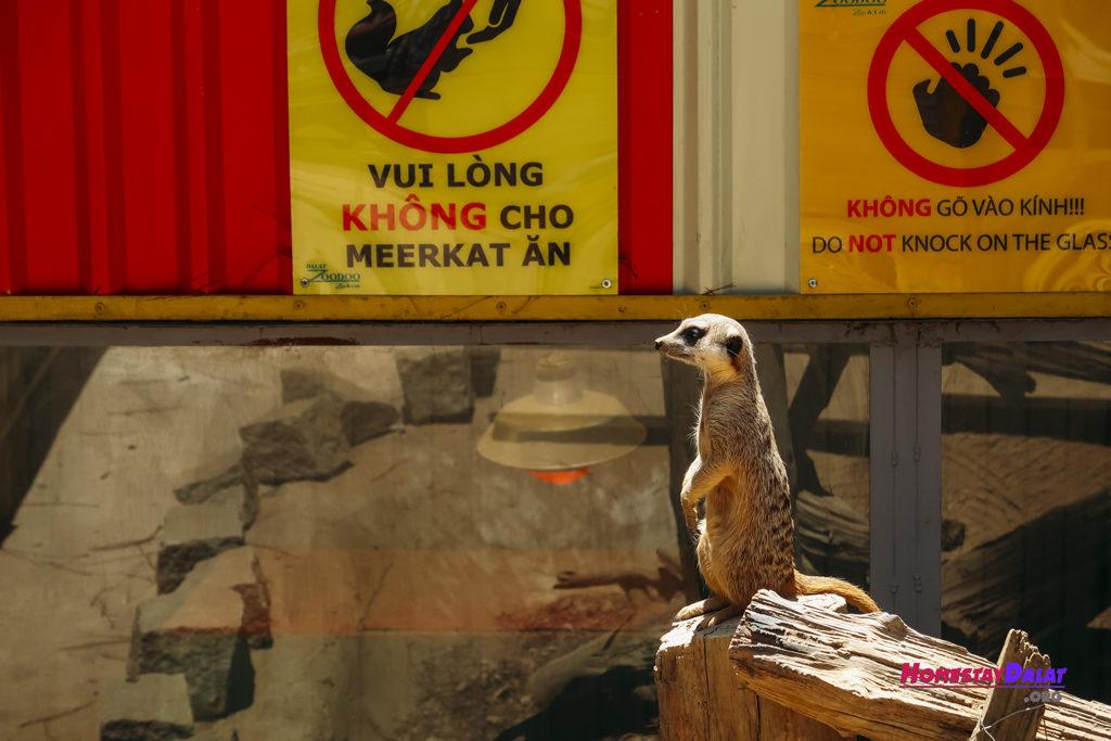 Meerkat vườn thú ZooDoo