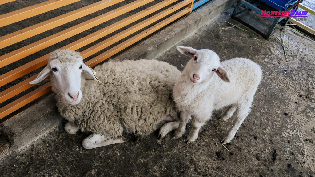 Những chú cừu được chăm sóc đặc biệt ở vườn thú ZooDoo
