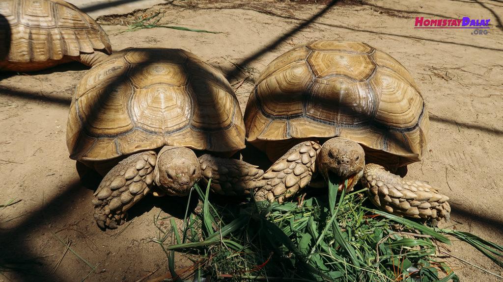 Rùa sống trên cạn được nuôi ở sở thú ZooDoo Đà Lạt